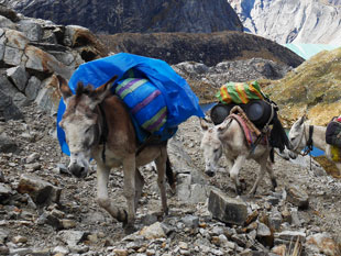Donkeys on the trail. The donkeys traverse steep and rocky terrain with ease.