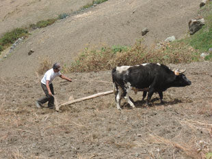 Quechan farmer plowing his field