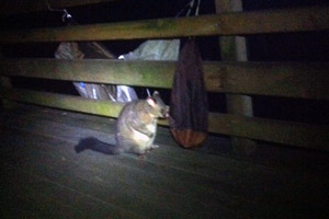 A visitor at Pelion hut