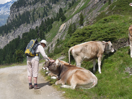The cows are very friendly
